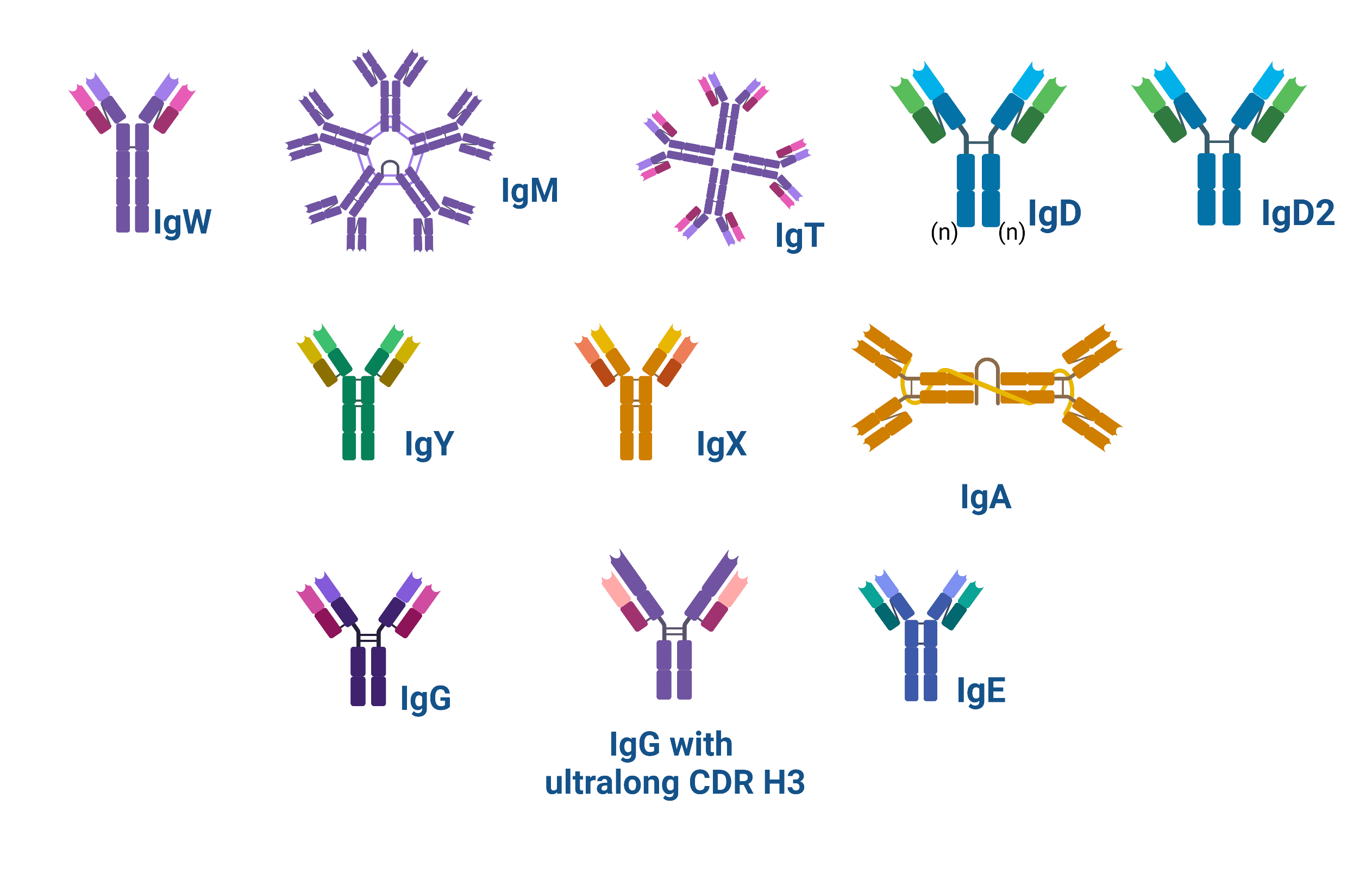 Schematic showing the structure of the types of antibodies found in nature